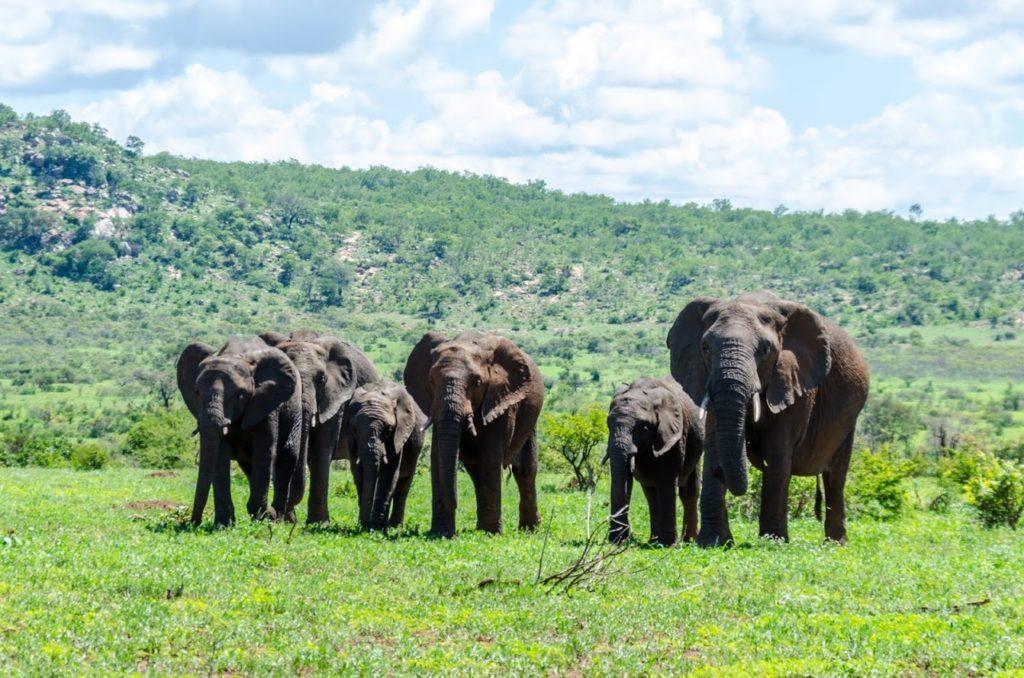 Elefanti nel Parco Kruger - Sudafrica